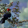 Pileated Woodpecker by Nava Thompson