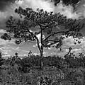 Pine by Al Hurley