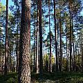 Pine Forest by Jouko Lehto