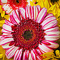 Pink And Yellow Mums by Garry Gay