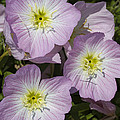 Pink Evening Primrose Wildflowers by Kathy Clark