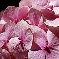 Pink Hydrangea by Mary Lane