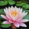 Pink Lotus by Sumit Mehndiratta