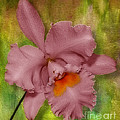 Pink Orchid by Susan Candelario