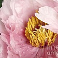 Pink Tree Peony by Yumi Johnson