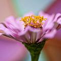 Pink Zinnia by Amy Jackson