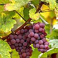Pinot Noir Grapes by Jeremy Walker