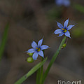 Pointed Blue-eyed Grass by Donna Brown