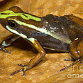 Poison Frog With Eggs by Dante Fenolio