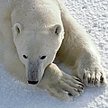 Polar Bear by Francois Gohier and Photo Researchers