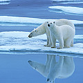 Polar Bear Ursus Maritimus Pair On Ice by Rinie Van Meurs