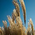 Pompas Grass 1 by Douglas Barnett