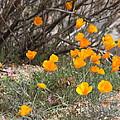 Poppies by Kim Galluzzo Wozniak