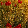 Poppy Field by Svetlana Sewell