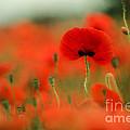 Poppy Flowers 01 by Nailia Schwarz