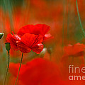 Poppy Flowers 02 by Nailia Schwarz