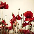 Poppy Flowers 03 by Nailia Schwarz
