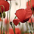 Poppy Flowers 04 by Nailia Schwarz