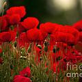 Poppy Flowers 05 by Nailia Schwarz