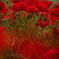 Poppy Flowers 06 by Nailia Schwarz