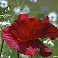 Poppy by Patrick Kessler