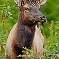 Portrait Of A Bull Elk by Greg Nyquist
