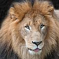 Portrait Of A Lion by Richard Marquardt