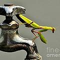 Praying Mantis by Dean Harte