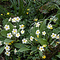 Primroses (primula Vulgaris) by Dr Keith Wheeler