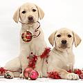 Puppies At Christmas by Mark Taylor