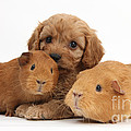 Puppy And Guinea Pigs by Mark Taylor