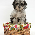 Puppy In A Basket by Mark Taylor