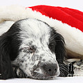 Puppy Sleeping In Christmas Hat by Mark Taylor