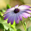 Purple Daisy  by Saija  Lehtonen