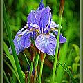 Purple Orchids by Dawn Harris