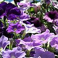 Purple Petunias by Laurel Gillespie
