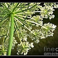 Queen Ann's Lace by Heinz G Mielke
