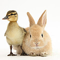 Rabbit And Duckling by Mark Taylor