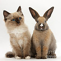 Ragdoll-cross Kitten And Young Rabbit by Mark Taylor