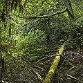 Rain Forest On Vancouver Island by Randall Nyhof