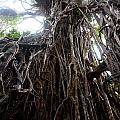 Rainforest Tree by Carole Hinding