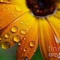 Rainy Day Daisy by Thomas R Fletcher