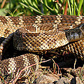 Rattlesnake by Jean Noren