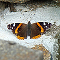 Red Admiral Butterfly - Vanessa Atalanta by Mother Nature
