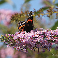 Red Admiral by Ericamaxine Price