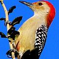 Red Bellied Woodpecker by T Guy Spencer