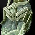 Red Bug, Sem by Steve Gschmeissner