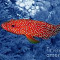 Red Coral Cod by Serena Bowles