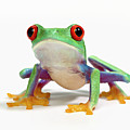 Red Eyed Frog (agalychnis Callidryas) White Background by Don Farrall
