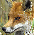 Red Fox by Duncan Shaw